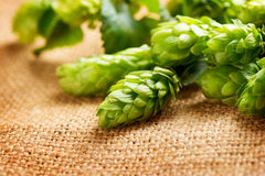 Green fresh cones of hop over sack linen texture. Hop close up. Green fresh cones of hop over sack linen texture Stock Photos