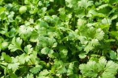 Green  fresh coriander Royalty Free Stock Photos