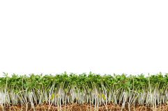 Green and fresh cress Royalty Free Stock Photography