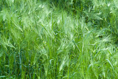 Green fresh crops Royalty Free Stock Image