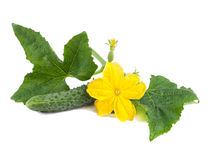 Green fresh cucumber with leaves and flower on white background Royalty Free Stock Photo