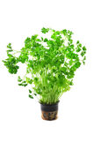 Green fresh curly parsley Stock Photography