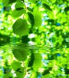 Green fresh foliage on water Stock Image