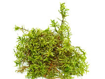 Green fresh forest moss. Isolated on white background Stock Image