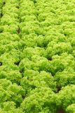 Green fresh frilly green lettuce. Rows of green fresh frilly-lettuce align in a organic farm Royalty Free Stock Photo