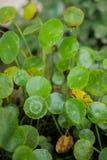 Green Fresh Gotu kola, Asiatic pennywort, Indian pennywort Stock Images
