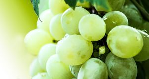Green colored grapes fruits. Green fresh grapes fruit Royalty Free Stock Photo