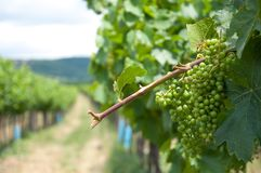 Green fresh grapes on vine. In austria royalty free stock image