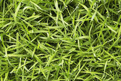 Green fresh grass. Long uncut green fresh grass with drops of water Stock Image