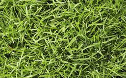 Green fresh grass. Long uncut green fresh grass with drops of water Stock Images