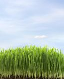 Green fresh grass Stock Photography