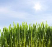 Green fresh grass Royalty Free Stock Photo