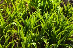 Green fresh grass royalty free stock image