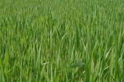 Green fresh grass closeup Royalty Free Stock Photo