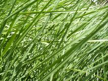 Green fresh grass in closeup view royalty free stock image