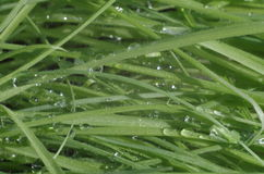 Green fresh grass closeup  with water drops Royalty Free Stock Image