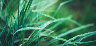 Green fresh grass with drops of morning water dew after rain, nature background with raindrop, mockup backdrop leaf plant closeup,. Flora macro concept with the Stock Image