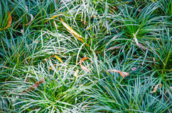 Green Fresh Grass Royalty Free Stock Photography