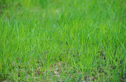 Green fresh grass field lawn texture background Royalty Free Stock Photography