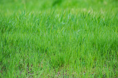 Green fresh grass field lawn texture background Stock Image