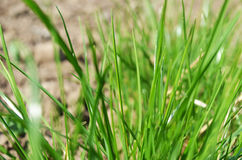 Green fresh grass growing Royalty Free Stock Photography