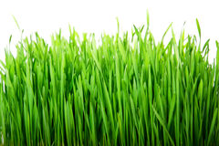 Green fresh grass. Fresh green grass isolated on white background Royalty Free Stock Photo