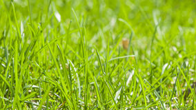 Green fresh grass macro background with bokeh, shallow DOF, selective focus Royalty Free Stock Photography