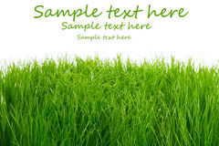 Green fresh grass background Royalty Free Stock Images