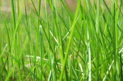 Green fresh grass in spring Royalty Free Stock Image
