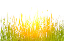 Sunlit grass. Green, fresh grass on a white background. Grass illuminated by sunlight Royalty Free Stock Photography