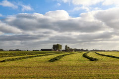 Green fresh hay on Dutch farmland Royalty Free Stock Images