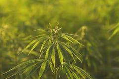 Green fresh hemp flowerhead detail. Detail of green  cannabis plant flowerhead and leaves Royalty Free Stock Image