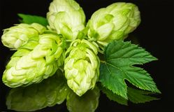 Green fresh hop cone on dark background for beer. Green fresh hop cone on dark background. Fresh hops cone and leaf. Freshly harvested hop flower for beer and Royalty Free Stock Photos