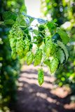 Green Fresh Hop Cones Royalty Free Stock Images