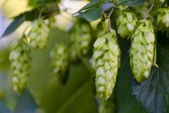Green fresh hop cones on bush. Flowers for making beer and bread closeup, agricultural background. Empty place for copy space place for text stock image