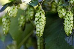 Green fresh hop cones on bush. Flowers for making beer and bread closeup, agricultural background. Empty place for copy space place for text royalty free stock photos