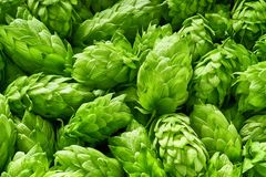 Hop cones , top view Stock Images