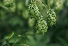 Green fresh hop cones for making beer and bread closeup, agricultural background Stock Image
