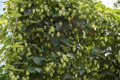 Green fresh hop cones for making beer and bread closeup, agricultural background. Green fresh hop cones for making beer and bread closeup, agricultural Royalty Free Stock Images