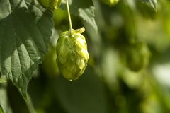 Green fresh hop cones for making beer and bread closeup, agricultural background. Green fresh hop cones for making beer and bread closeup, agricultural Stock Images