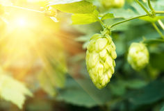 Green fresh hop cones for making beer, closeup Royalty Free Stock Photos