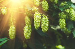 Green fresh hop cones for making beer, closeup Royalty Free Stock Photography