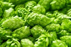 Hop cones , selective focus Stock Images