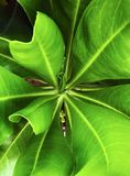 Green fresh juicy leaves of a tropical plant close-up shot royalty free stock image