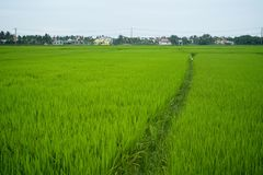 Rice field in Vietnamese village Royalty Free Stock Image