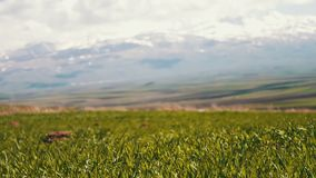 Green fresh juicy spring grass against the backdrop of snowy peaks of the Caucasus Mountains in Armenia. Green fresh juicy spring grass against backdrop of snowy stock footage