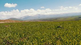 Green fresh juicy spring grass against the backdrop of snowy peaks of the Caucasus Mountains in Armenia. Green fresh juicy spring grass against backdrop of snowy stock video