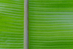 Green fresh leaf from the branch of a tree . Close up detail of a leaf. Stock Images