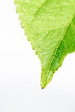 Green fresh leaf from the branch of a tree isolated. Close up detail of a leaf. Stock Images