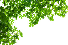 Green fresh leaf frame Royalty Free Stock Image